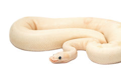 Питон шарика альбиноса снежка (питон regius) Стоковые Фото