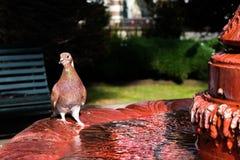 Питьевая вода голубя на фонтане Стоковая Фотография
