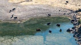 Питьевая вода животных в бассейне в каньоне Colca, Перу Стоковые Фото