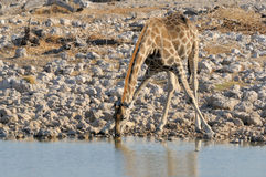 Питьевая вода жирафа Стоковое Фото