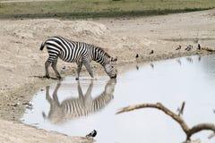 Питьевая вода зебры в природном парке, Танзании Стоковая Фотография RF