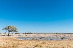 Питьевая вода зебр Burchells в waterhole в северном Namib Стоковые Фотографии RF