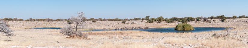 Питьевая вода зебр Burchells на waterhole в северном Namib Стоковые Фото