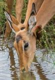 Питьевая вода импалы пока oxpecker очищает свое ухо стоковые изображения