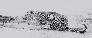 Питьевая вода леопарда от малого бассейна после охотиться художнический co Стоковые Изображения RF