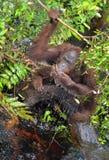 Питьевая вода орангутана от реки в джунглях Центральное wurmbii в одичалой природе, na pygmaeus Pongo орангутана Bornean Стоковые Изображения RF