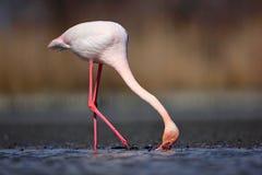 Питьевая вода птицы Весна в Европе Большой фламинго, ruber Phoenicopterus, славная розовая большая птица, голова в воде, животное Стоковая Фотография RF
