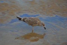 Питьевая вода чайки или пока ел Стоковые Фото