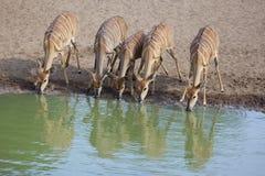 Питьевая вода антилопы Nyala в ряд Стоковое Изображение