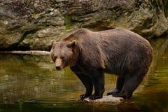 Питьевая вода бурого медведя Бурый медведь, arctos Ursus, сидя на камне, около пруда воды Медведь чела в воде большой коричневый  Стоковые Фото
