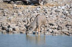 Питьевая вода быка Kudu Стоковые Фотографии RF