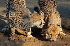 Питьевая вода гепардов Стоковое фото RF