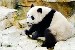Питьевая вода гигантской панды Китай стоковая фотография rf