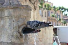 Питьевая вода голубей от фонтана Стоковые Изображения RF