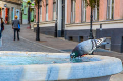 Питьевая вода голубя в фонтане города в горячем лете Стоковая Фотография RF