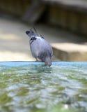 Питьевая вода голубя в фонтане Стоковое Изображение