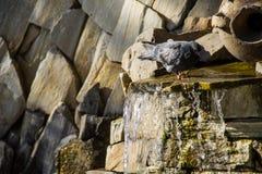 Питьевая вода голубя от бассейна фонтана в парке Стоковые Фото