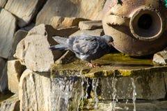 Питьевая вода голубя от бассейна фонтана в парке Стоковое Фото