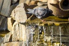 Питьевая вода голубя от бассейна фонтана в парке Стоковая Фотография RF