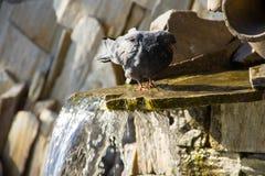 Питьевая вода голубя от бассейна фонтана в парке Стоковые Изображения RF