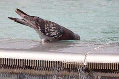 Питьевая вода голубя Стоковые Фото