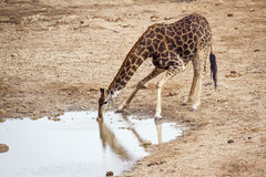 Питьевая вода жирафа в национальном парке Kruger Стоковое Изображение