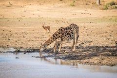 Питьевая вода жирафа в Kruger Стоковые Фотографии RF