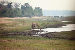 Питьевая вода жирафа и вставать в африканской саванне Стоковое Фото