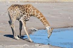 Питьевая вода жирафа и дрофиные Kori Стоковые Фото