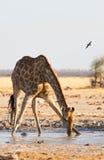 Питьевая вода жирафа на лотке NP Nxai Стоковое Фото