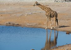 Питьевая вода жирафа Стоковое фото RF