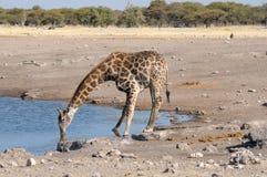 Питьевая вода жирафа Стоковая Фотография RF