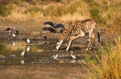 Питьевая вода жирафа, Kruger, Южная Африка Стоковые Изображения RF