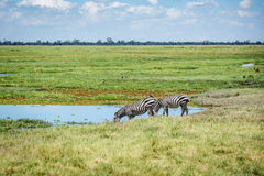 Питьевая вода зебры в Кении, Африке Стоковые Изображения