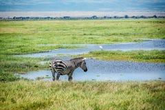 Питьевая вода зебры в Кении, Африке Стоковые Фотографии RF