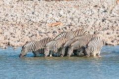 Питьевая вода зебр Burchells на waterhole в северном Namib Стоковое Изображение