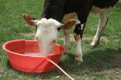 питьевая вода коровы Стоковое Фото