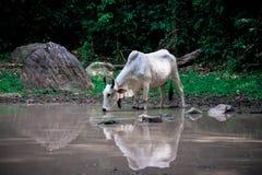Питьевая вода коровы Стоковые Изображения
