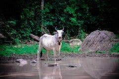 Питьевая вода коровы Стоковая Фотография
