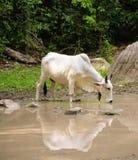 Питьевая вода коровы Стоковое Изображение RF