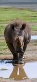 Питьевая вода носорога от лужиц Кения Национальный парк вышесказанного стоковые фотографии rf