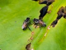 Питьевая вода пчел Стоковое фото RF