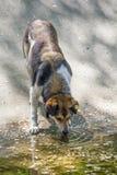 Питьевая вода собаки Стоковые Фотографии RF