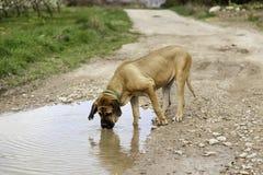 Питьевая вода собаки Bloodhound Стоковые Фото