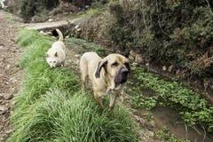 Питьевая вода собаки Bloodhound Стоковая Фотография
