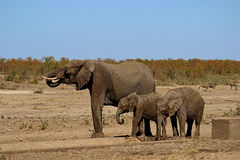 Питьевая вода слона и икр Стоковые Изображения