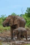 Питьевая вода слона матери и младенца Стоковая Фотография RF