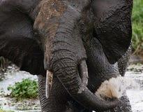 Питьевая вода слона от лужиц вышесказанного Кения Танзания serengeti Maasai Mara стоковая фотография rf