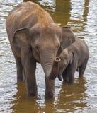 Питьевая вода слонов Стоковые Фото