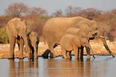 Питьевая вода слонов Стоковая Фотография